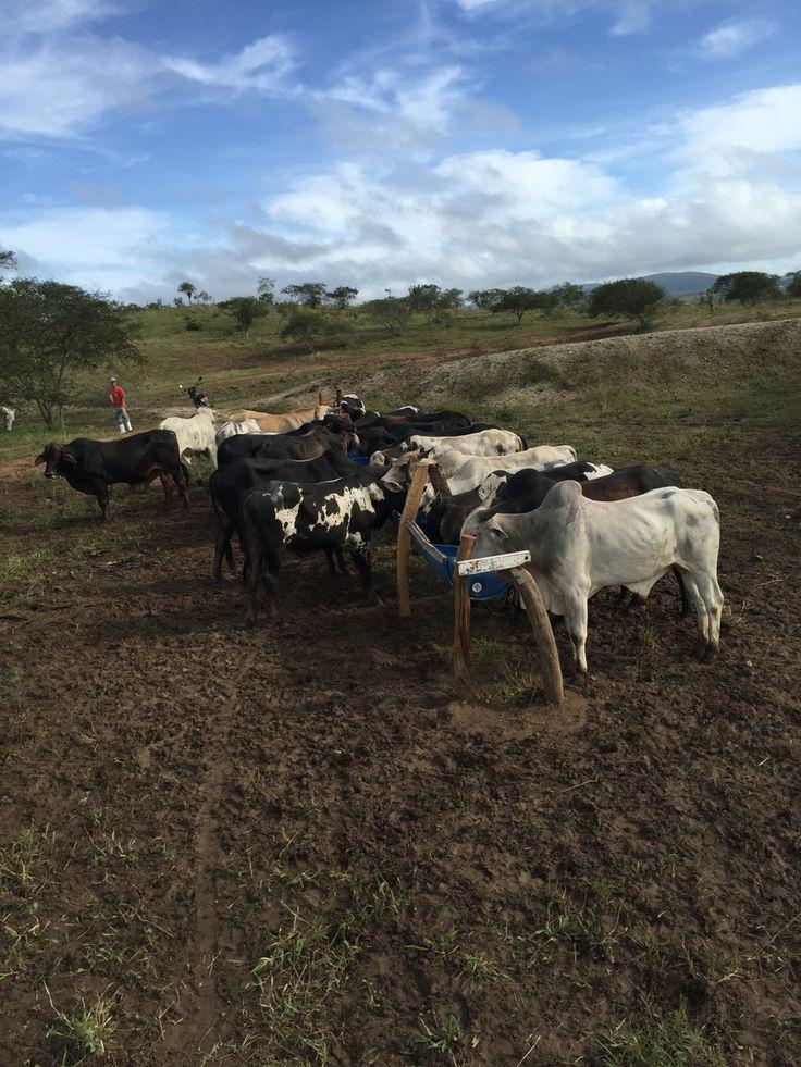 Vida de gado