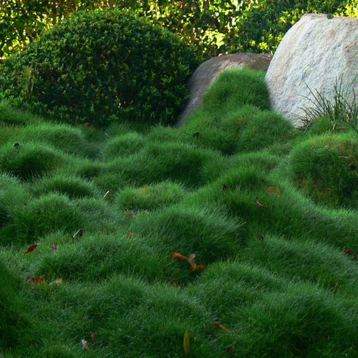 love this soft moundy grass!  too bad it won't survive in my zone : (  Korean Velvet Grass (Zoysia tenuifolia)  zones 9-10
