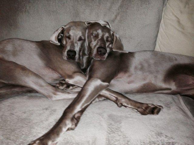 Welkom bij de vereniging De Weimarse Staande Hond