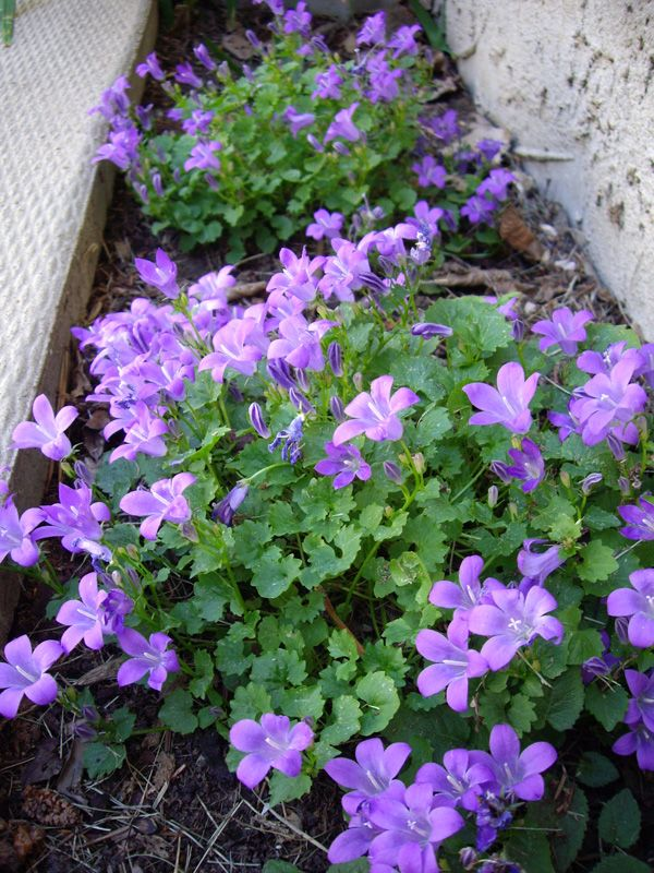 """Campanula portenschlagiana  ---  One of the most shade tolerant campanulas. Will bloom much of the summer in cooler zones; here in z. 7, it quits about July 1. Likes well -drained average soil. Unfussy & low -care. Great for miscellaneous areas along the sidewalk or around the tool shed; will spread. 6-8"""" high by 10-14"""" wide. z. 4-9"""