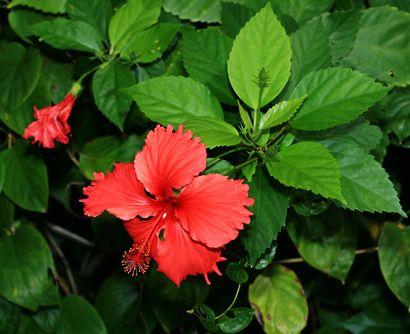 Hibiscus rosa-sinensis - Chinese Hibiscus, Shoeblackplant, Tropical Hibiscus…
