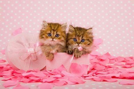 Персидские котята - кошки, пушистые, шляпа, кошечки, аромат, красивые, милые, котята, персидский, розовый, сладкий, коробка, роза, лепестки, аромат, очаровательны