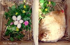 Herbs in the nesting boxes? Yes please! Herbs for hen offer pest-repelling qualities and help calm sitting hens. Fresh or dried - add an herbal nesting box blend to your coop.  More information about the benefits of herbs on the blog: http://www.fresheggsdaily.com/2014/02/common-herbs-and-their-health-benefits.html