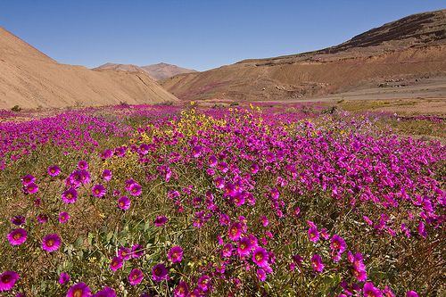 Desierto Florido   En los alrededores de Domeyko.  Wildflowers of the Chilean Desert.  Región de Atacama, Chile. The blooming of the desert is a miracle of nature and the most impressive and beautiful phenomenon to take place in Chile. Hundreds of kilometers of desert, usually only sand and rocks, are transformed in a great carpet of color and life thanks to the kindness of water.