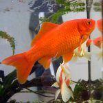 Fische im Schwimmteich - Goldfisch