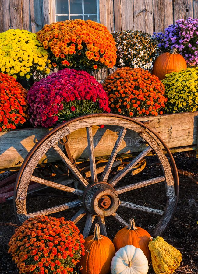 Colorful Mums And Pumpkins In Old Wagon