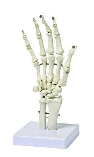 Human-Hand-Skeleton-Model-Anatomy-Science-Classroom-Education-Body-Kit-Learning