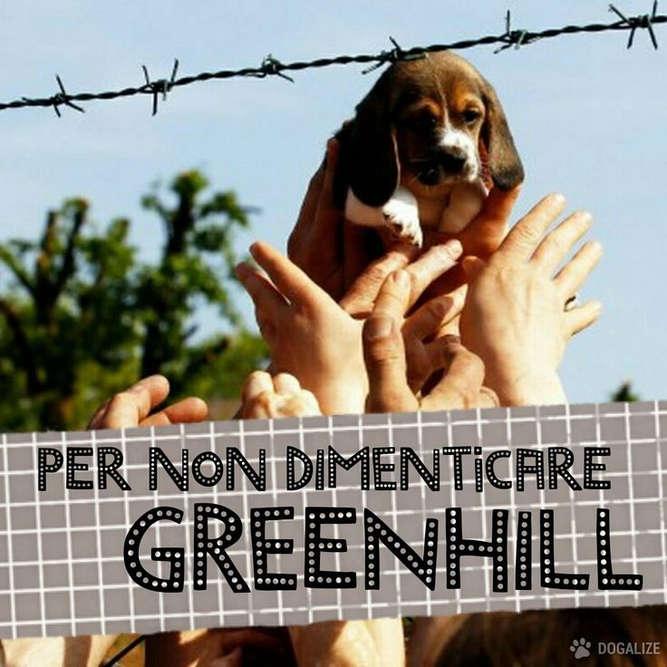 PER NON DIMENTICARE GREENHILL: 3 ANNI FA LA LIBERAZIONE DEI CUCCIOLI DI BEAGLE #dogalize #greenhill