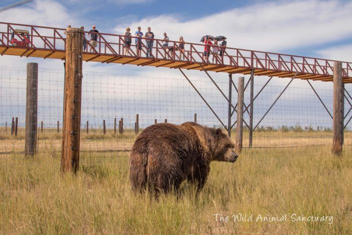 "The Wild Animal Sanctuary offers a truly unique experience with their remarkable ""Mile Into The Wild"" elevated walkway, which travels over hundreds of acres of natural habitats containing hundreds of bears, tigers, lions, leopards, wolves, and other large carnivores."
