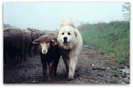 Livestock Guardian Dogs at Work~Wow. This article was unbelievably interesting.