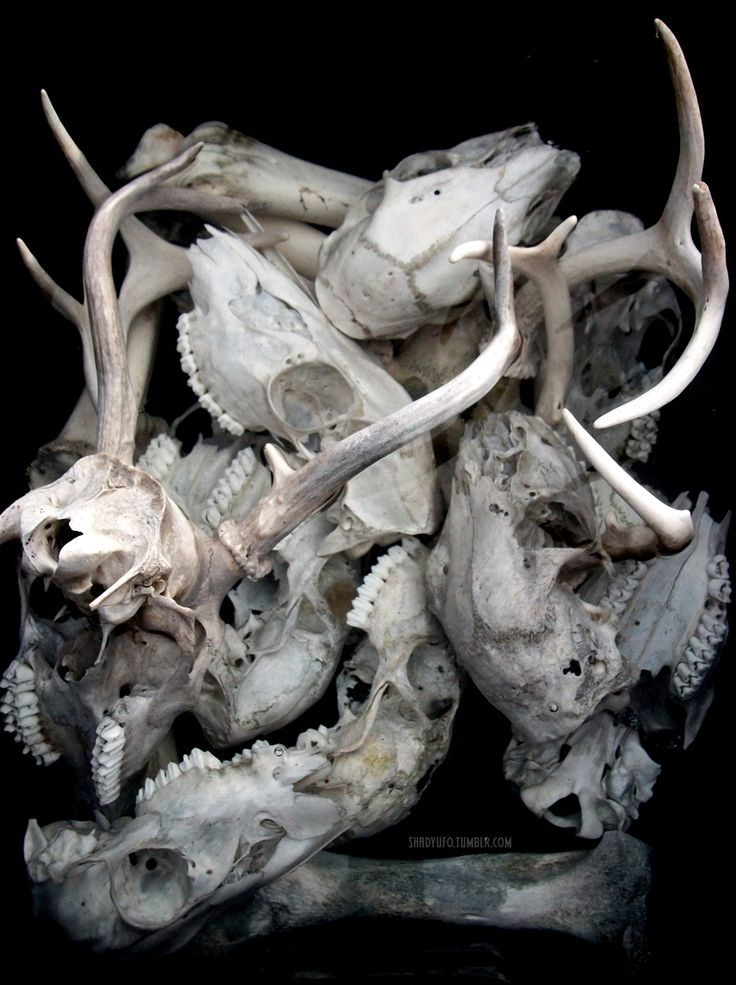 Many animal skulls.