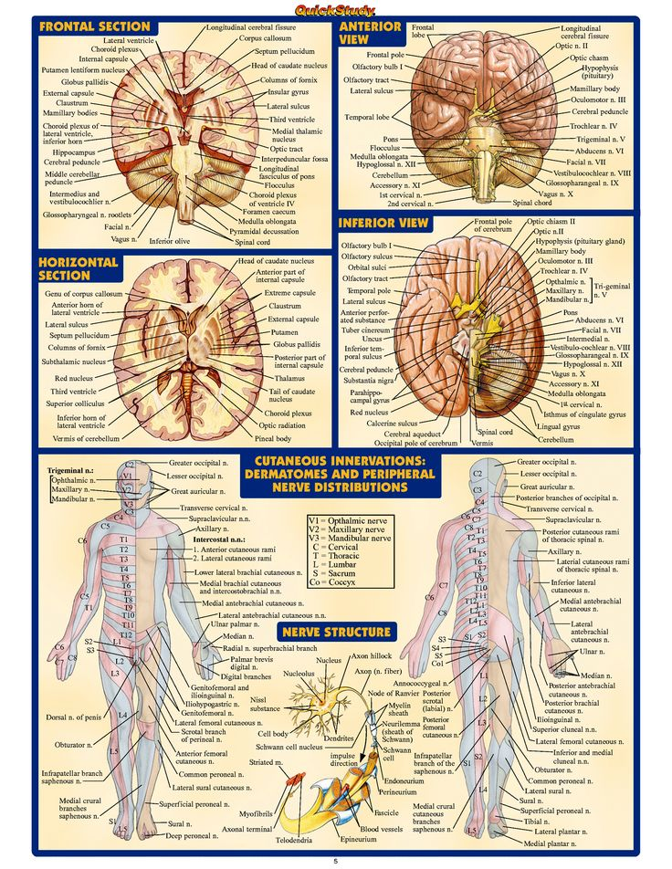 137 best anatomy images on pinterest human body human anatomy and human anatomy e medical schoolmedical studentsstudy testhealthy fandeluxe Gallery
