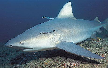Žralok býčí