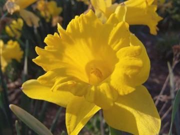 Daffodils: How to Plant, Grow, and Care for Daffodil Flowers   The Old Farmer's Almanac