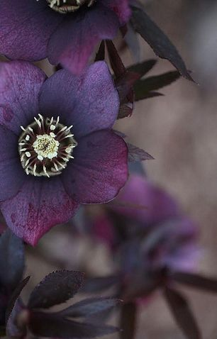 Deep Plum Hellebores #patternpod #beautifulcolor #inspiredbycolor