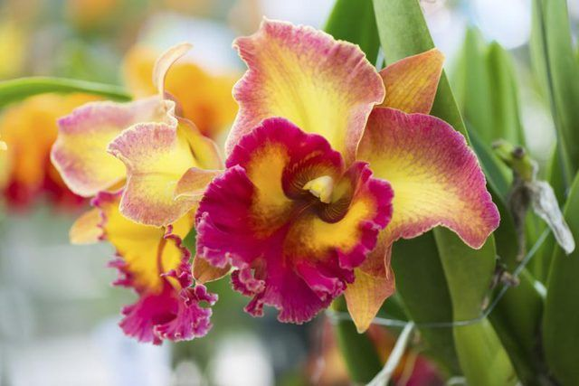 Learn How To Care For A Cattleya Orchid How To Guides Tips And Tricks Orchid Care Rebloom Cattleya Orchid Orchid Care