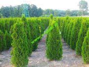 thuja-smaragd-tuja-szmaragd-250cm.jpg