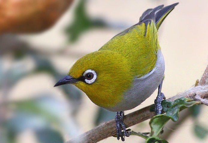 Suara Pleci – Memiliki kicauanyang merdu, lantang danvariatif merupakankemampuan utama pleci yang mendasari dayatarik tersendiri bagi para penggemarnya. Burung berkicau yang mempunyai lingkar mataberwarna putih ini mulai tenar dengan berbagai gacoran khasnya yang kaya akan keanekaragaman variasi.Melihat perlombaan burung kicau yang kini kian marak diselenggarakan diberbagai daerah, membuat suara pleci yang berciri khas ngalas dan …