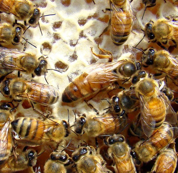 Ορεινή Μέλισσα: Η Νοζεμίαση και η θεραπεία της : Αναλυτικά οδηγίες για υγιή και δυνατά μελίσσια
