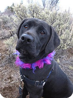 Colette is a Labrador Retriever available for adoption in Bend, OR: http://www.adoptapet.com/pet/8609245-bend-oregon-labrador-retriever-mix