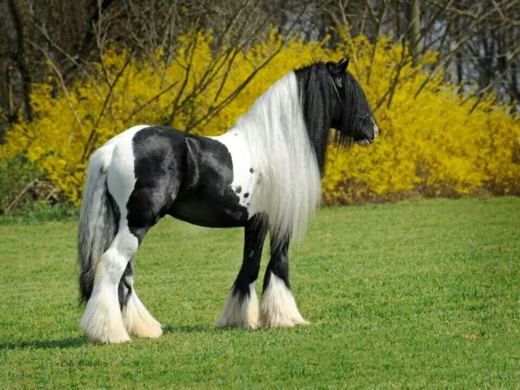 1000+ images about gypsy caravan horses on Pinterest