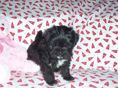 Malti-Pug Puppy: This little pup is born from a Maltese ... Black Teacup Maltese Puppies