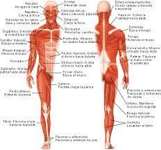 sistema muscular humano y sus partes - Buscar con Google
