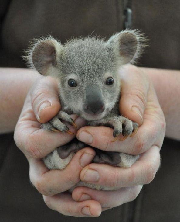 Baby Koala.- 15 bébés animaux font fondre votre coeur immédiatement   – Nature and Science