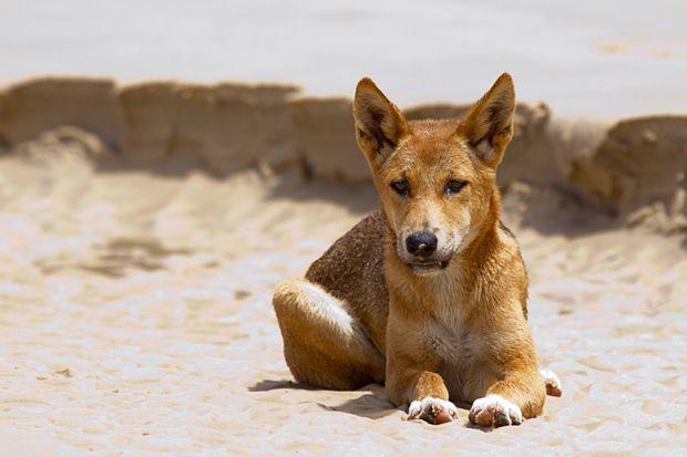 Dingo on the beach of Fraser Island, Queensland - Australia