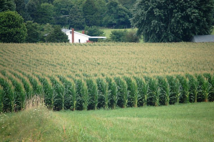 Rows of corn on a country road north of Glasgow, Kentucky