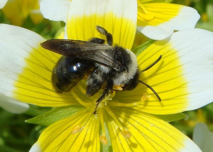 Submit a sighting of Andrena cineraria (ashy mining-bee)   BWARS