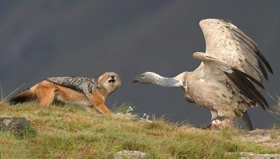 foto galeri,fotoğraf,dünya,hayvanlar alemi,yırtıcı kuşlar, 18