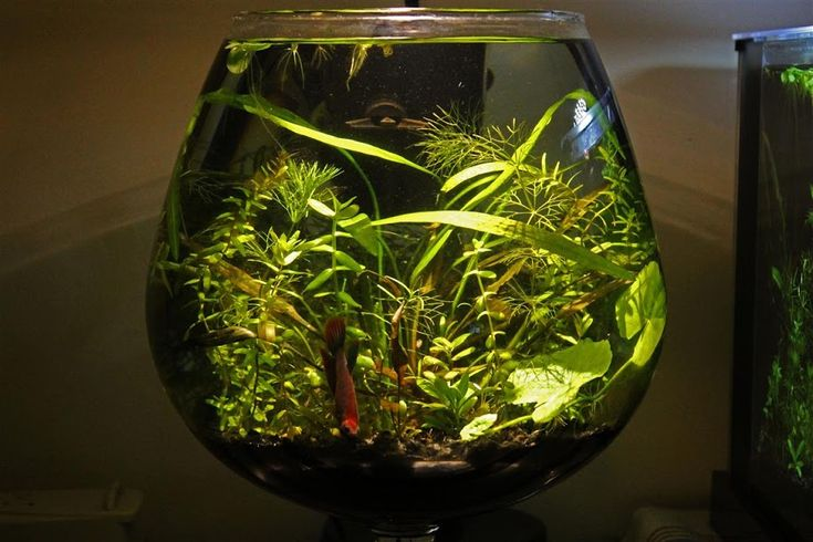 Pinterest the world s catalog of ideas for Plants for betta fish vase