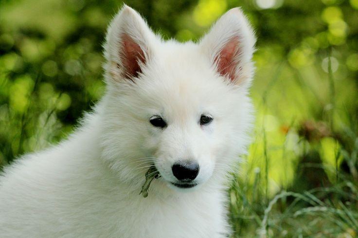 https://flic.kr/p/fcpXz2 | Haaku | Weißer Schäferhund Welpe