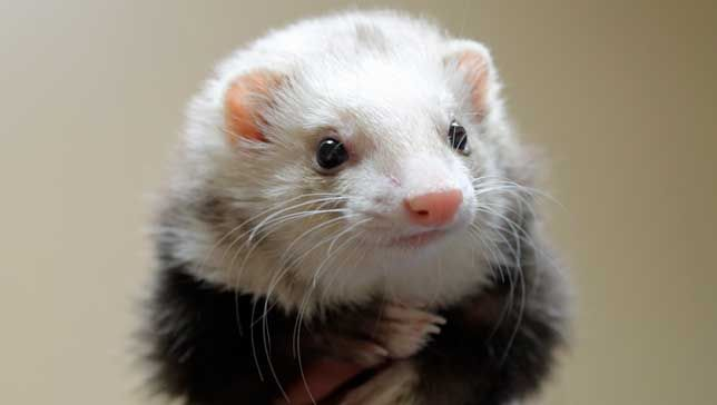 8 things you didn't know about ferrets: These adorable weasels have impressive dance skills and an incredible capacity for learning, and they've even been employed by the royal family.