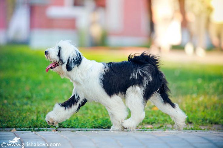 Tibetan Terrier. By Kate Grishakova.