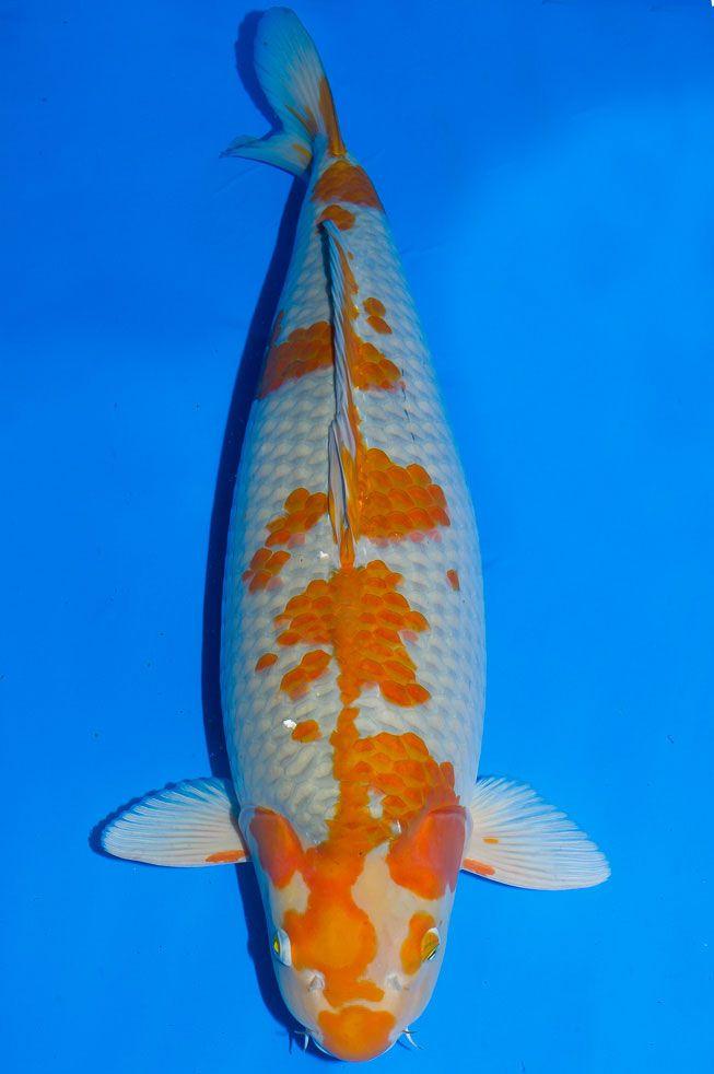 305 best koi images on pinterest koi ponds koi carp and for Carpe koi aquarium