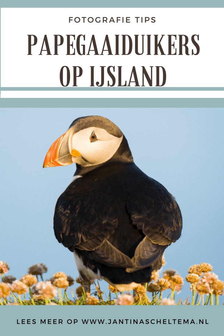 Papegaaiduikers fotograferen op IJsland - JantinaScheltema.nl