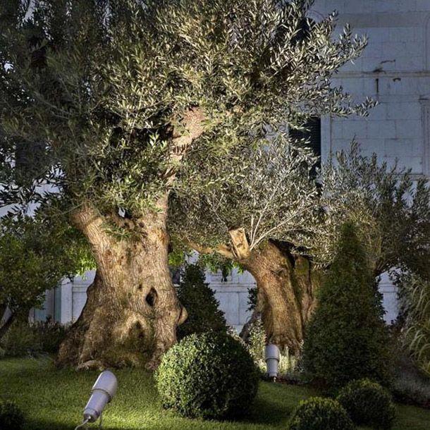 Scopri la migliore illuminazione per valorizzare gli for Alberi per giardino