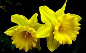 Image result for daffodils images free download