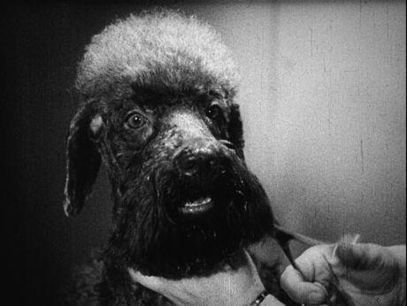 Sweet Pets Beauty Salon. Salon piękności dla psów w Paryżu. [video] (Repozytorium Cyfrowe Filmoteki Narodowej) #repozytoriumcyfrowe, #pupies, #funny