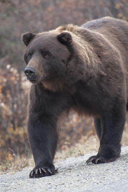 A big, healthy bear walks alongside the Park Road somewhere near Mile 10 inside Denali National Park & Preserve. (NPS Photo by Jay Elhard) | #wildlife #Alaska #adventure