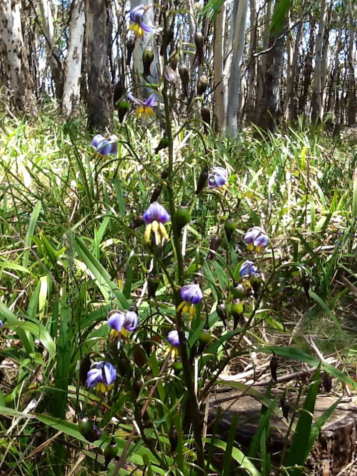 Tasman Flax-lily (Dianella tasmanica) Found in south-eastern Australia and Tasmania, this was photographed at Mt Macedon in Victoria.