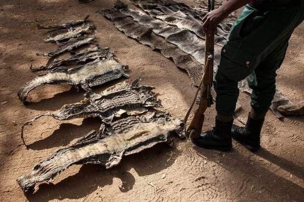 Peaux de crocodiles, C'est un réseau planétaire qui met en péril les espèces les plus rares. Des braconniers revendent, sur les marchés européen et…