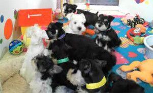 Mini Schnauzer Puppy Cam
