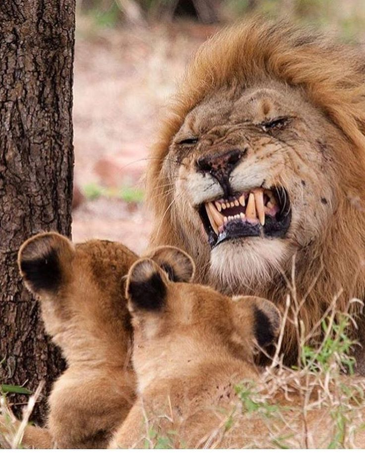 """3,959 Likes, 20 Comments - Animals - Wildlife (@wildlifeowners) on Instagram: """"Father King Photo by @marlondutoit"""""""