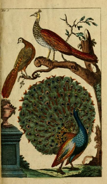 pavoneando:  Peacock, Unterhaltungen aus der Naturgeschichte: Der Vögel, Vols 4-5, Gottlieb Tobias Wilhelm, 1795.(vía biodiversitylibrary)
