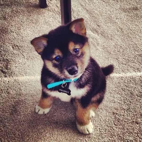 25 Best Ideas About Shiba Puppy On Pinterest Shiba Inu