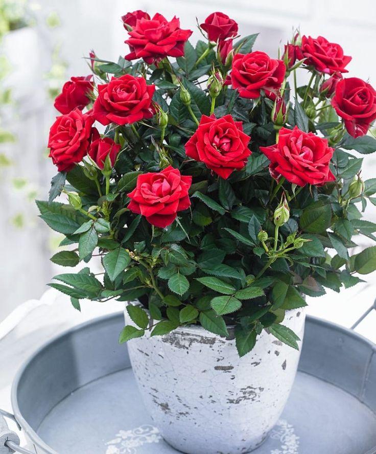Шарами, живена интернет магазин растений розы
