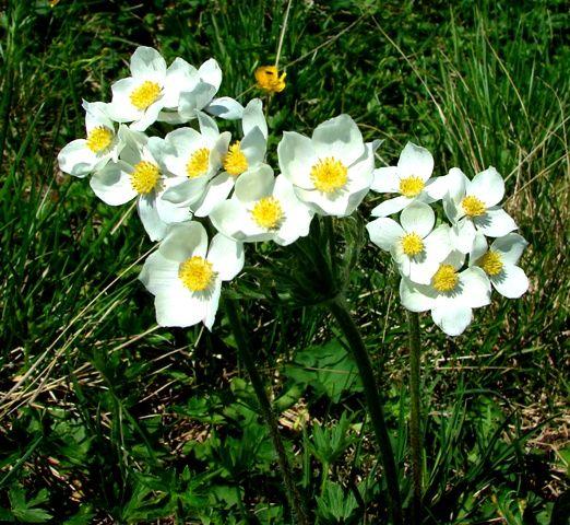 Июльские цветы в горах Алтая.